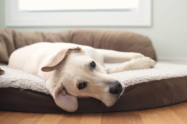 Best Dog Beds For Labs [5 Top Labrador Dog Beds]