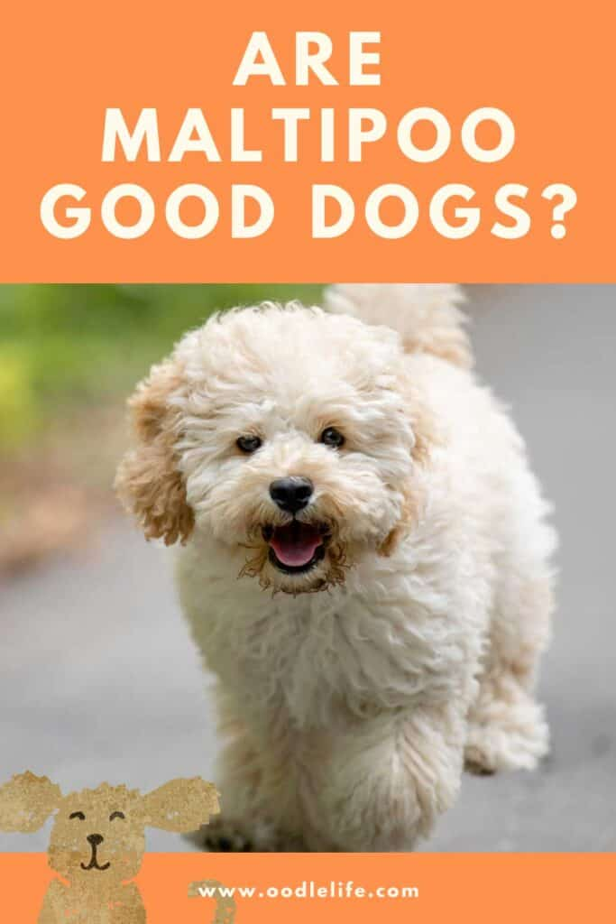 infographic for are maltipoo good dogs