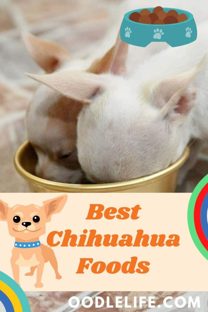 two chihuahua eatings the best chihuahua foods