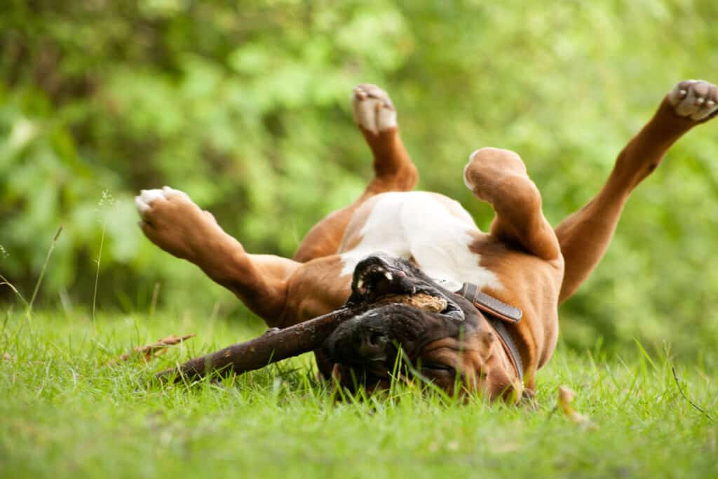 boxer dog rolling in grass with a stick
