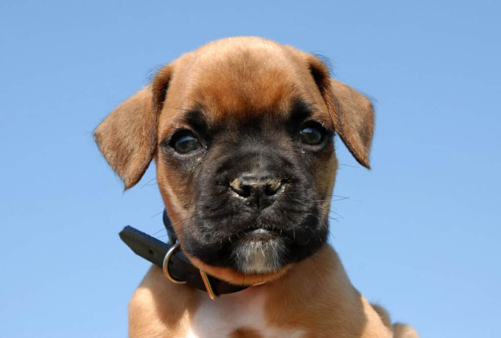 a boxer puppy in front of a blue sky