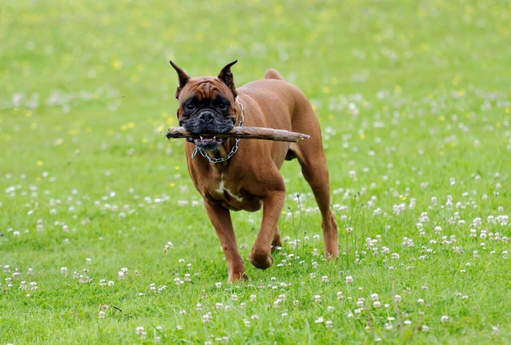 boxer dog with stick running on grass