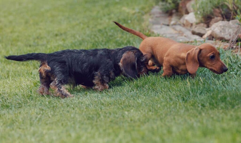brown haired daschunds