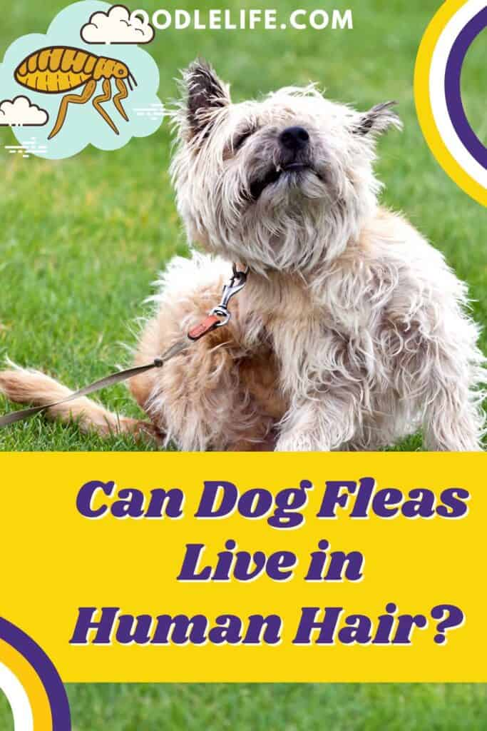 can dog fleas live in human hair