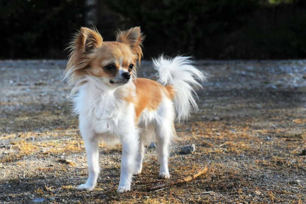 a long haired chihuahua