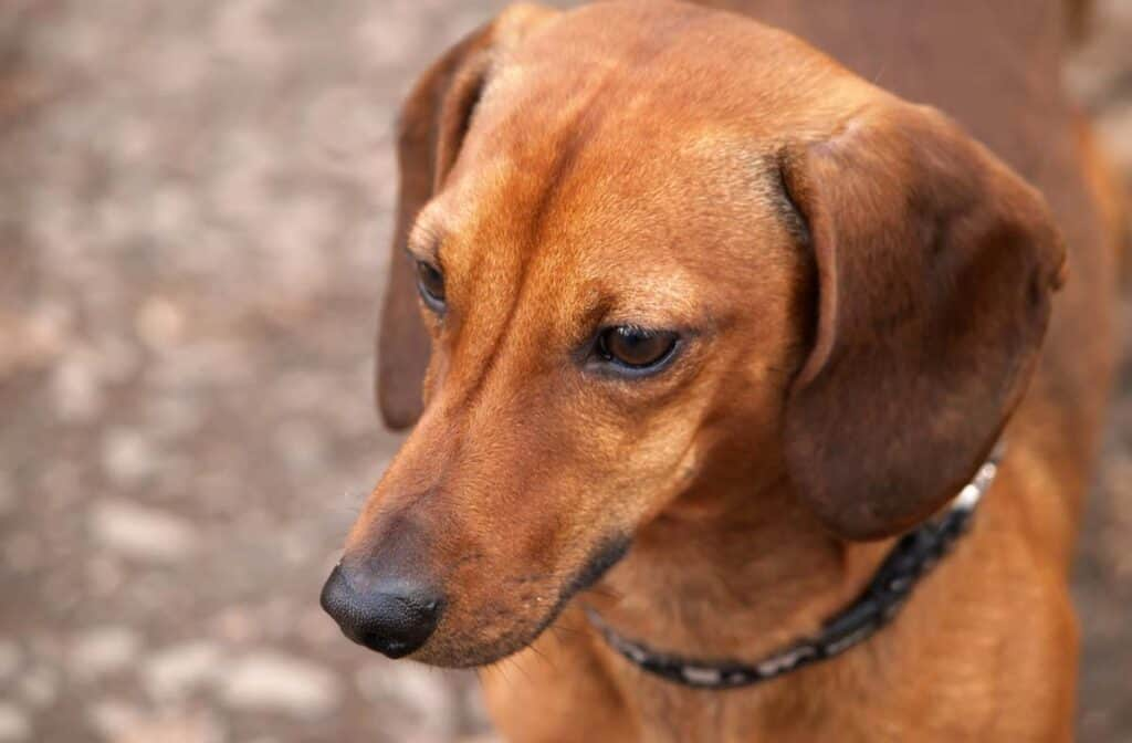 up close short brown dascund face