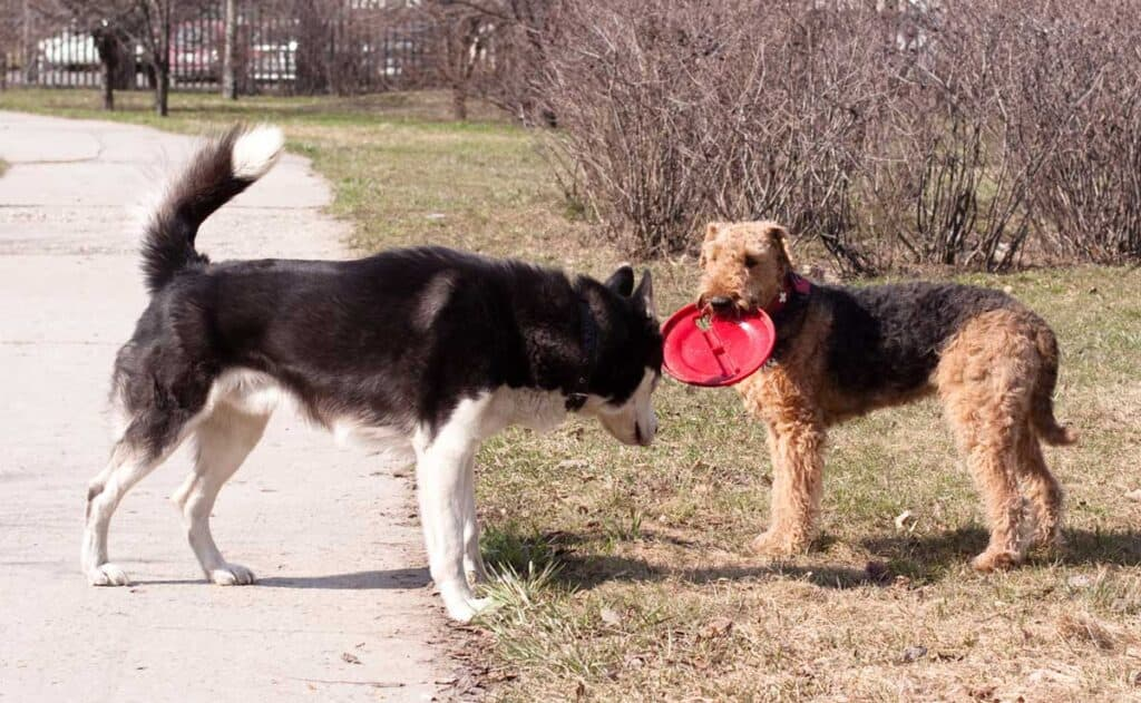 two dogs playing frisbee with each other