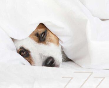 dog sleeping in human bed