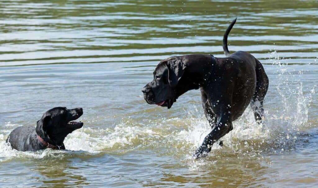 a Great Dane plays in the lake or river water