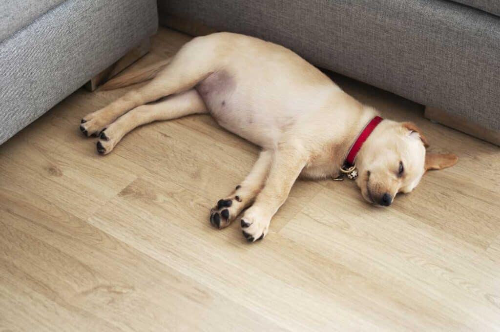 lab puppy sleeps on floor