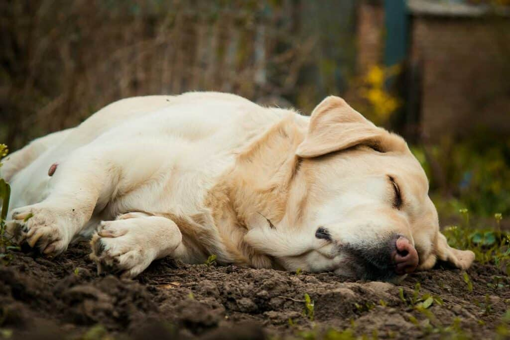 a lab sleeping in the forest
