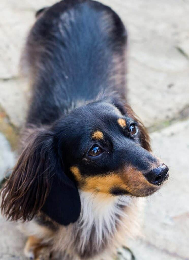 low and long haired daschund