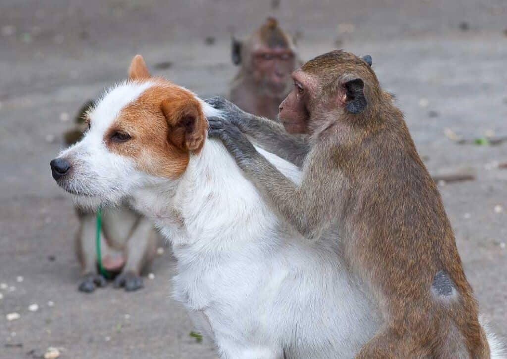 monkey checking dog for fleas