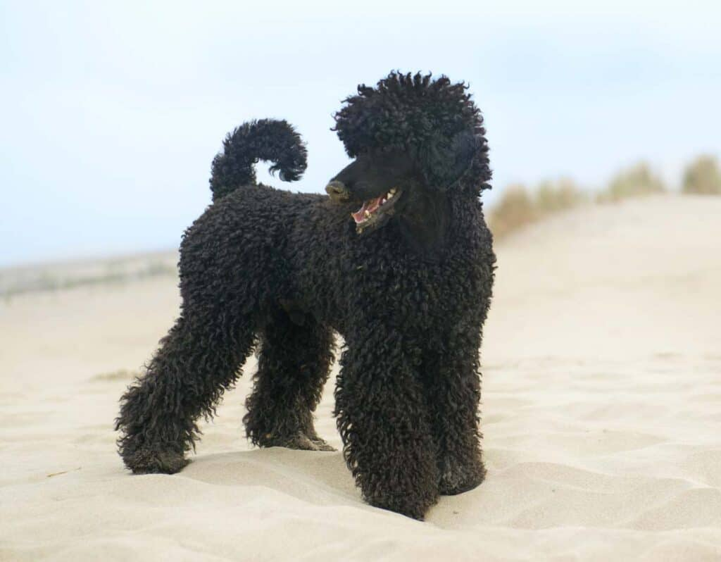 a black poodle at the beach