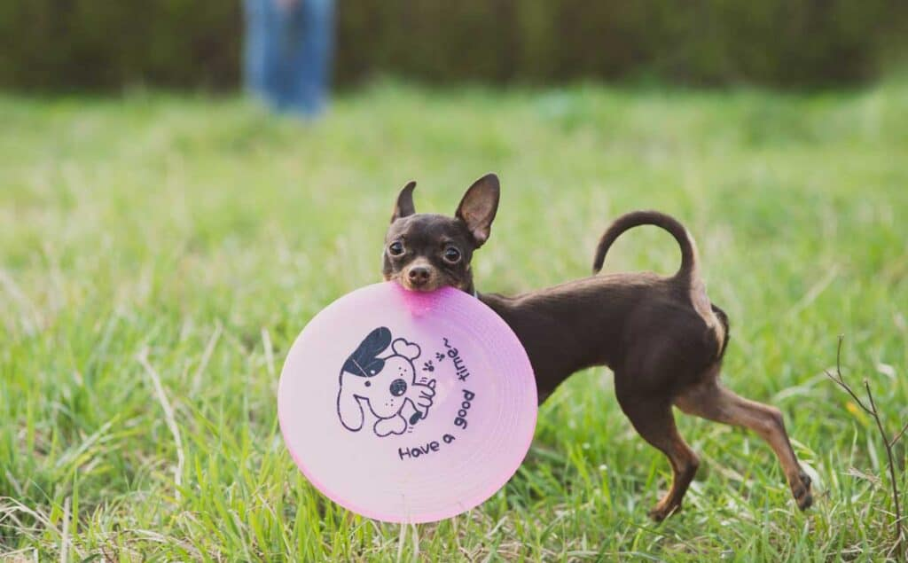 Russian toy terrier with frisbee