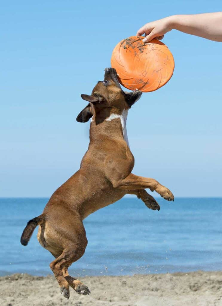 staff puppy leaps for frisbee