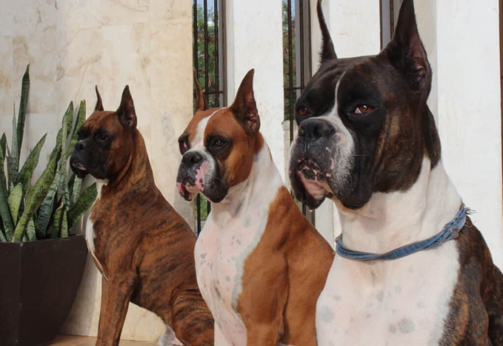 three boxer dogs