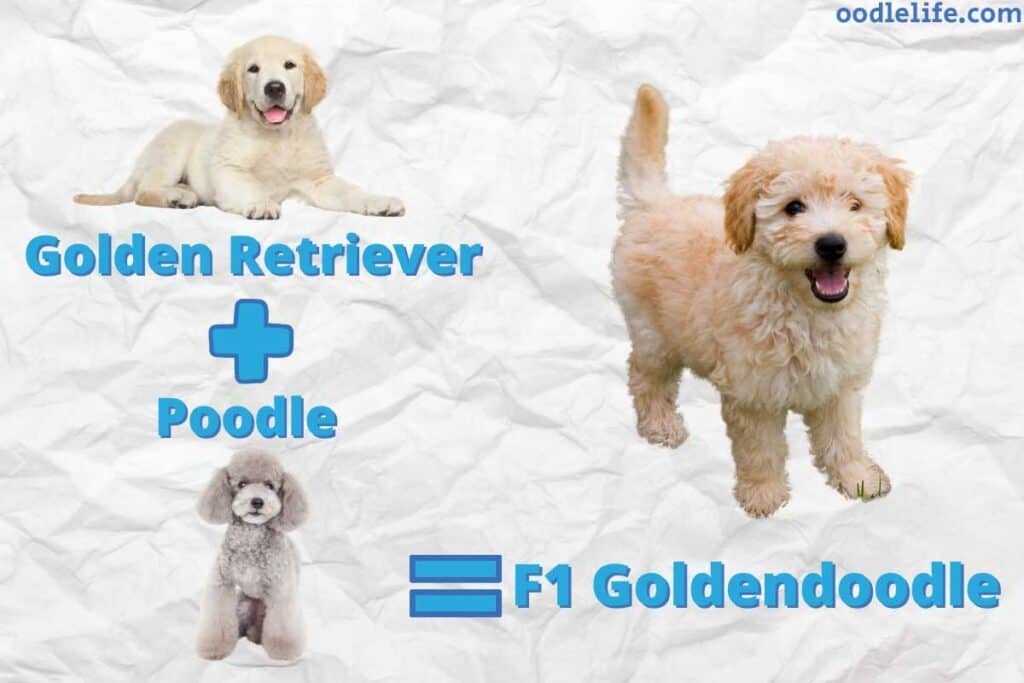 f1 goldendoodle explanation