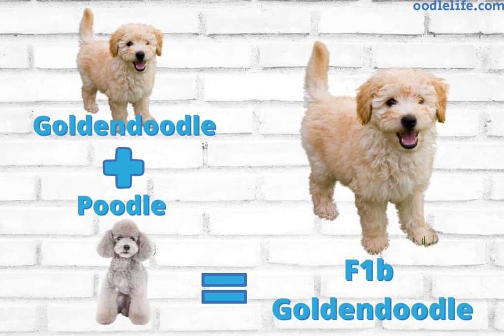 what is an f1b goldendoodle explained