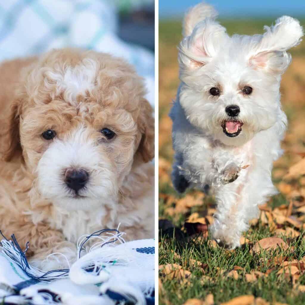 maltese puppy vs maltipoo puppy