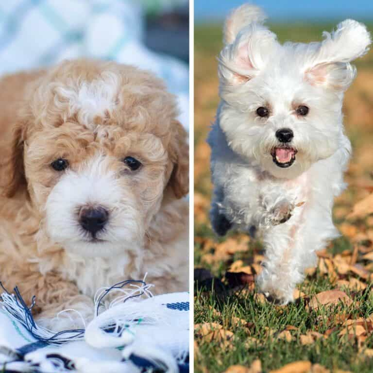 Maltese vs Maltipoo Breed Comparison – Which is Best?