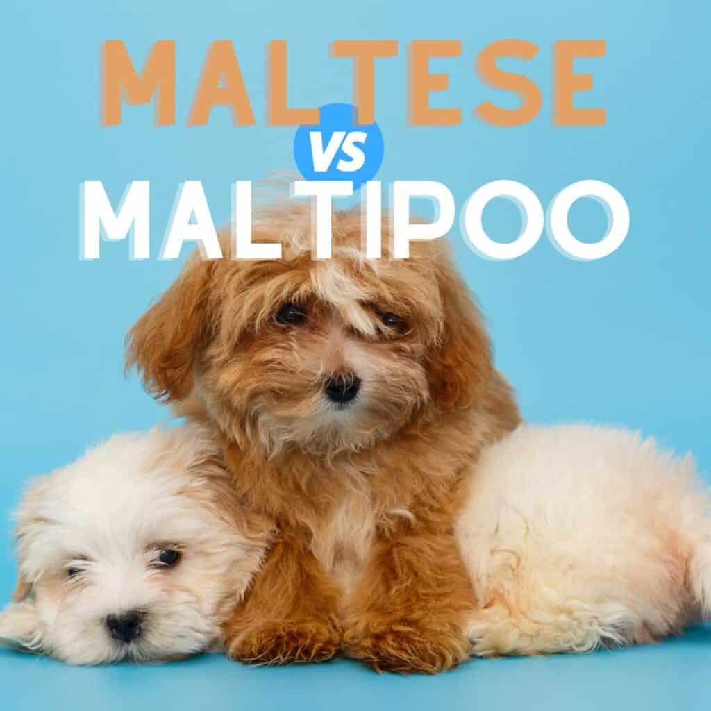 maltese vs maltipoo puppy comparison table