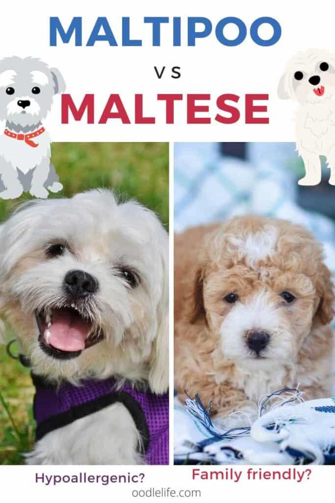 maltese vs maltipoo breed comparison two photos