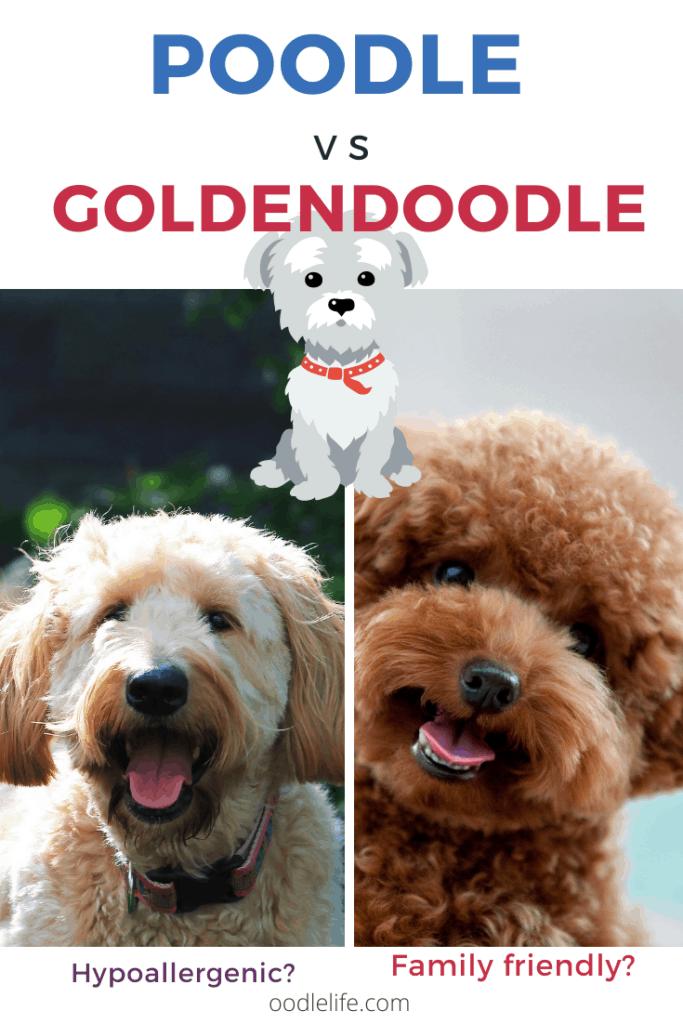 poodle vs goldendoodle