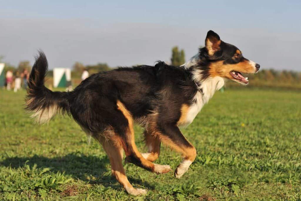 running Australian shepherd