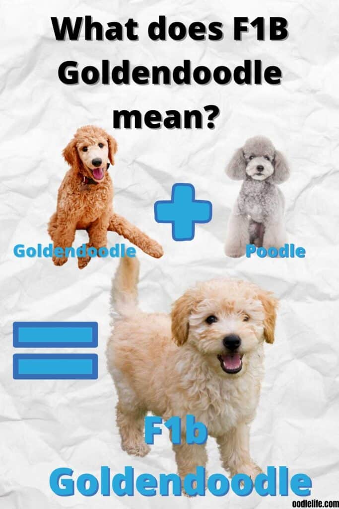 what is a f1b goldendoodle chart