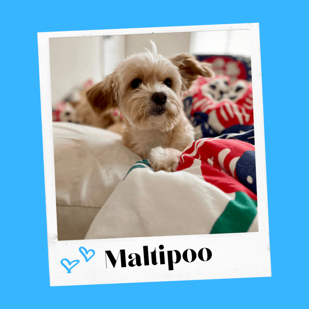 a cute maltipoo sits on a bed