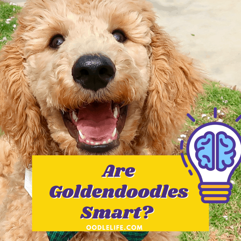 Are Goldendoodles Smart?