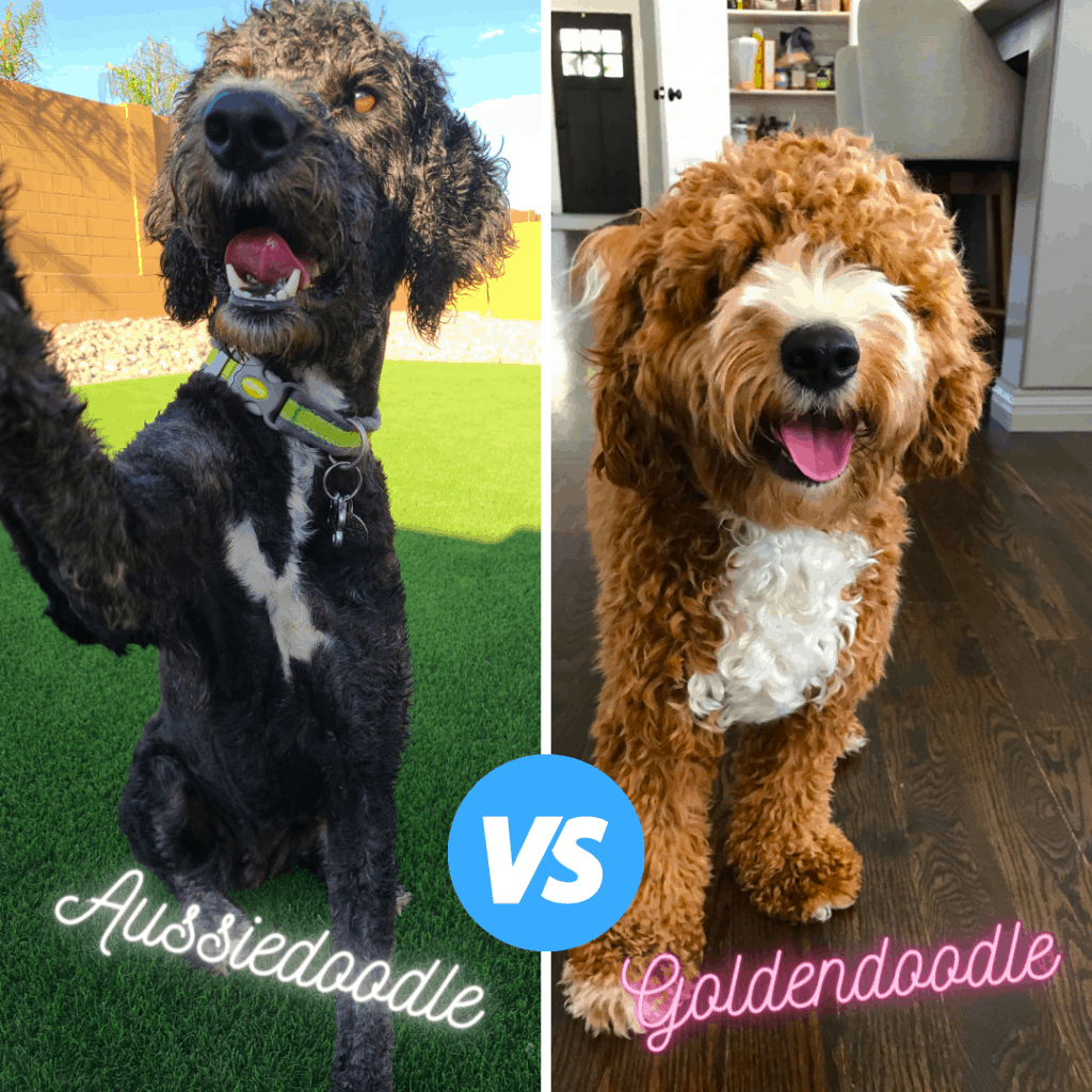 poodle cross aussiedoodle and goldendoodle