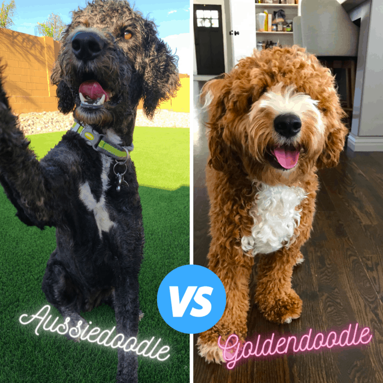 Goldendoodle vs Aussiedoodle Breed Comparison (with Photos)