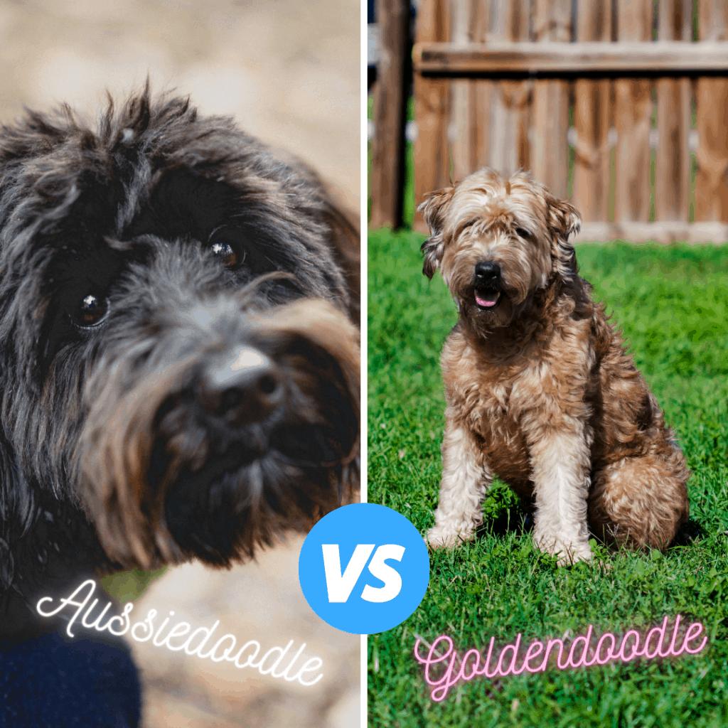 size comparison of aussiedoodle vs goldendoodle
