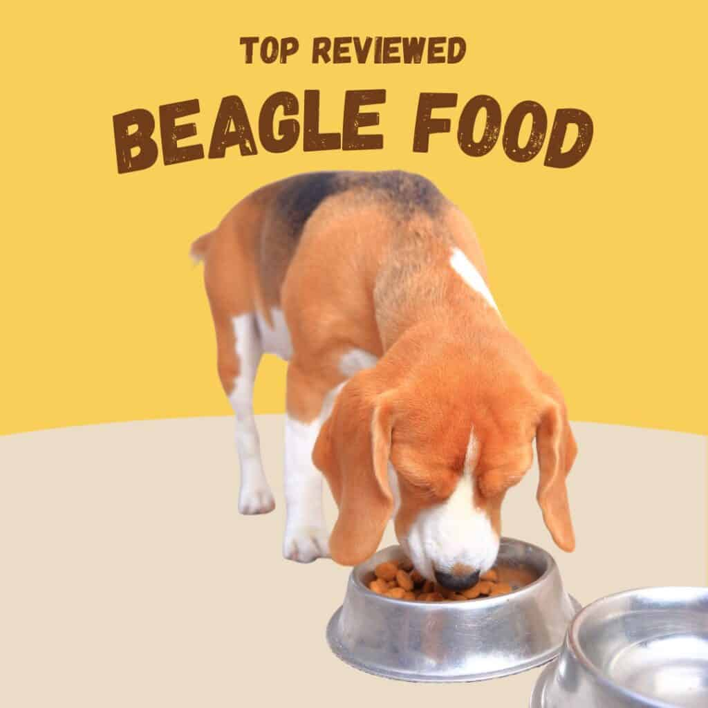 beagle eating food from a bowl