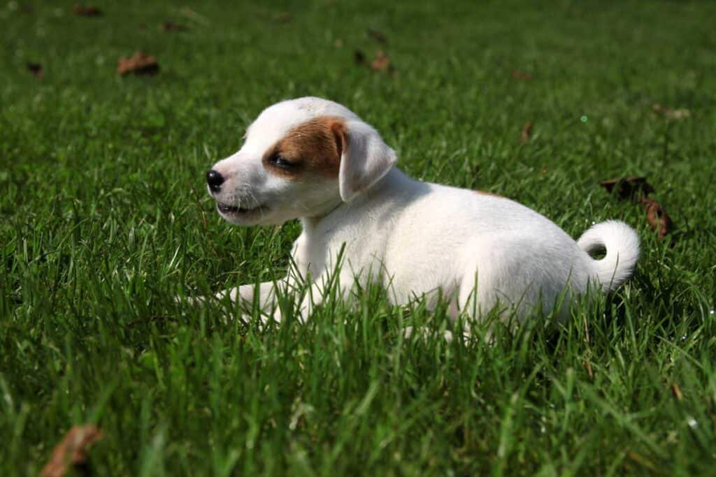 beagle puppy sitting on the grass