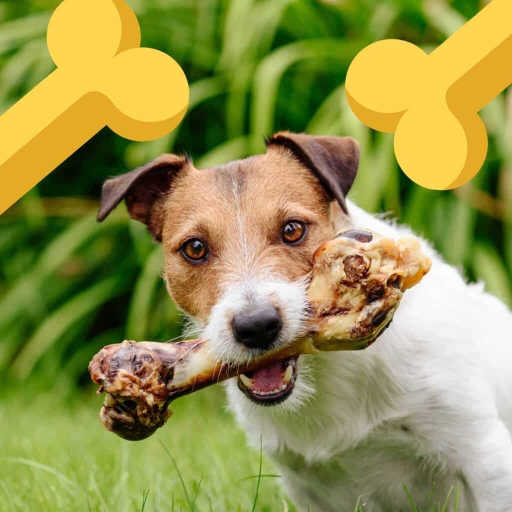 a jack Russel enjoying one of the best dog bones