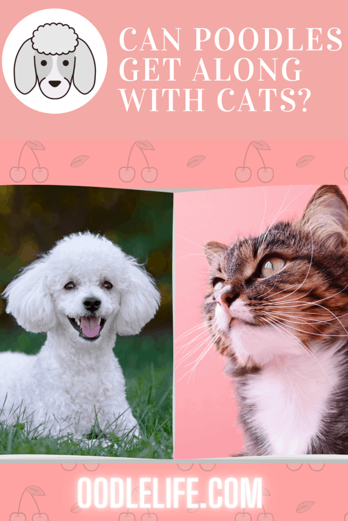 can poodles get along with cats