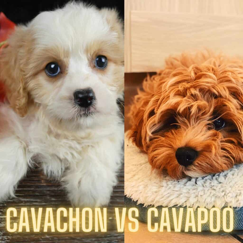 cavachon vs cavapoo photos side by side