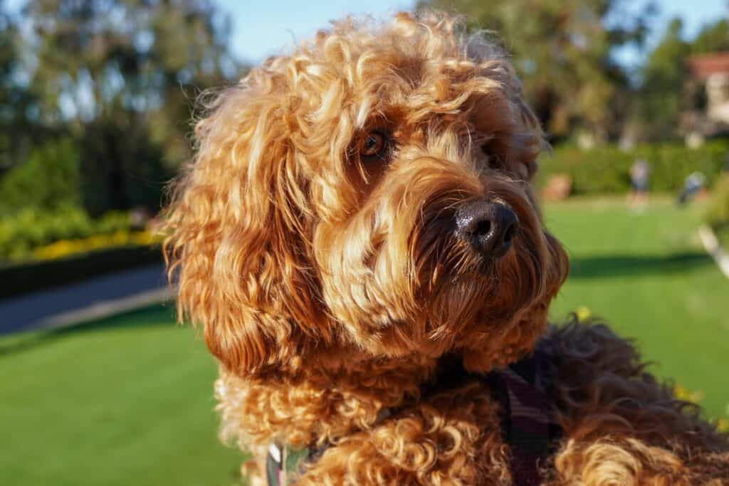 cavapoo at the park