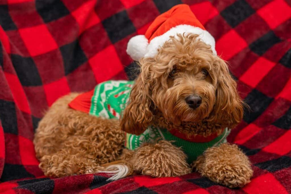 christmas cavapoo puppy