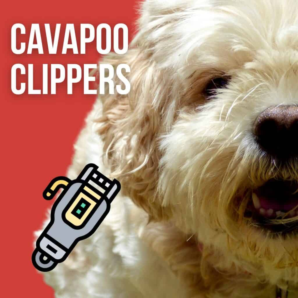 best cavapoo clippers infographic