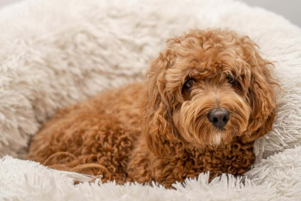 cavapoo in dog bed