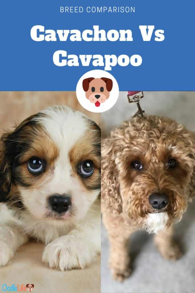 cavachon vs cavapoo side by side comparison