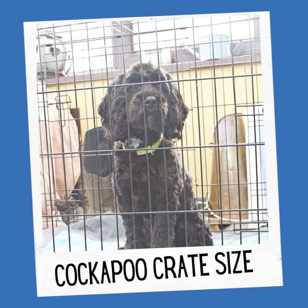 cockapoo crate size