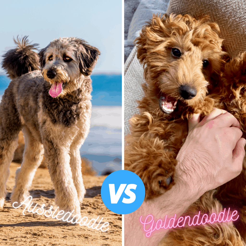 goldendoodle vs aussiedoodle breed guide side by side