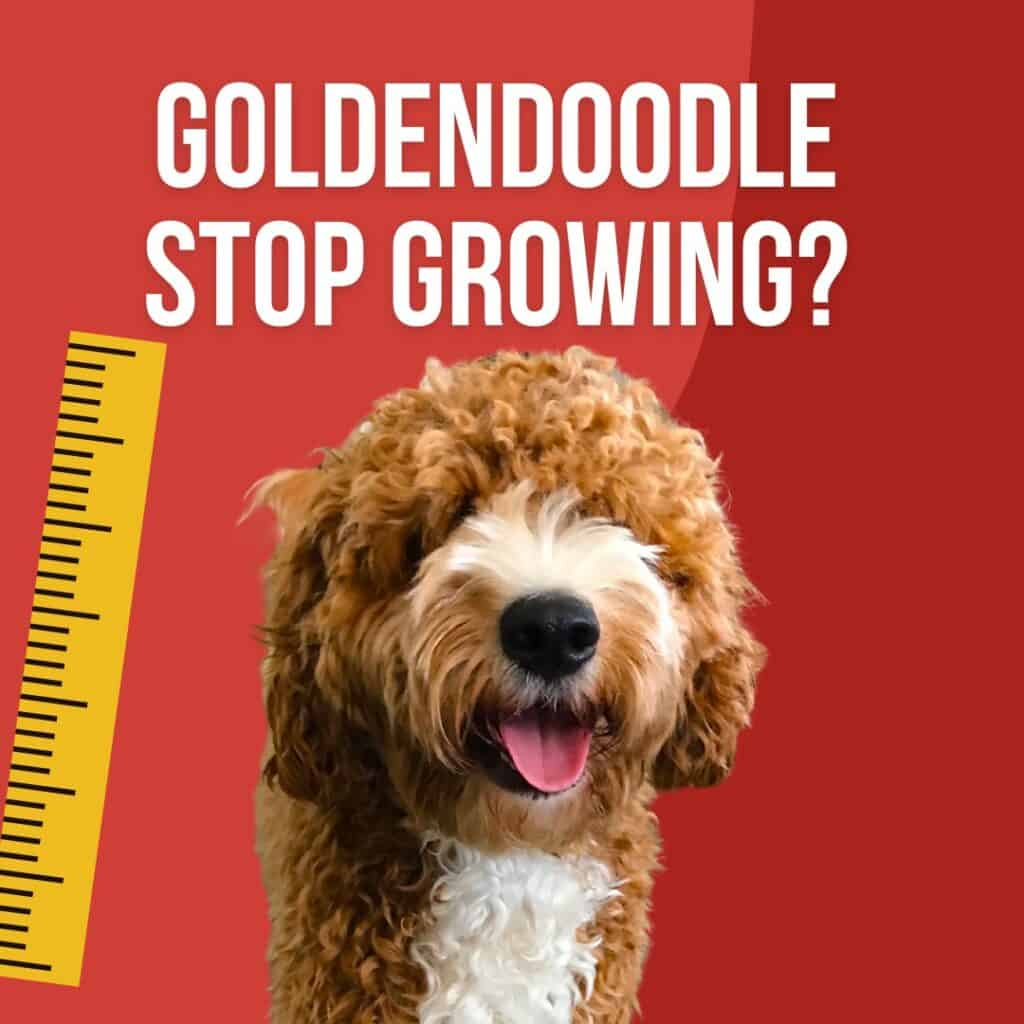 a growing goldendoodle puppy next to a ruler