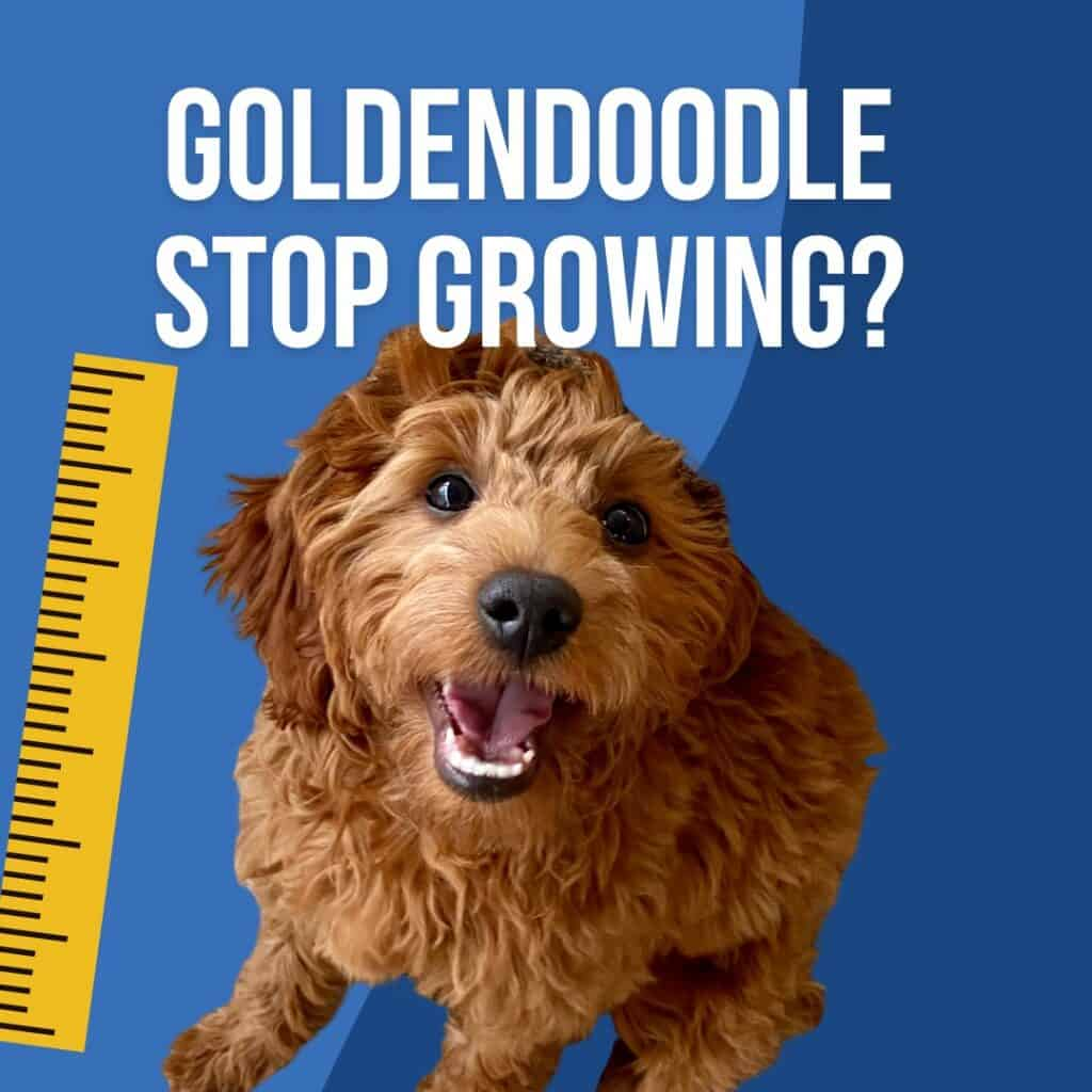 a goldendoodle puppy looks up at a camera with a ruler next to it