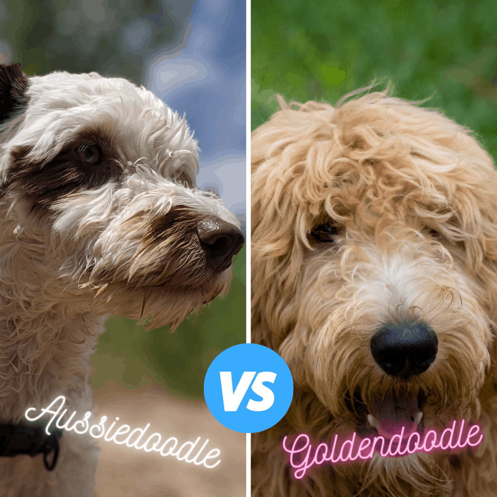 grooming costs of a Goldendoodle and an aussiedoodle